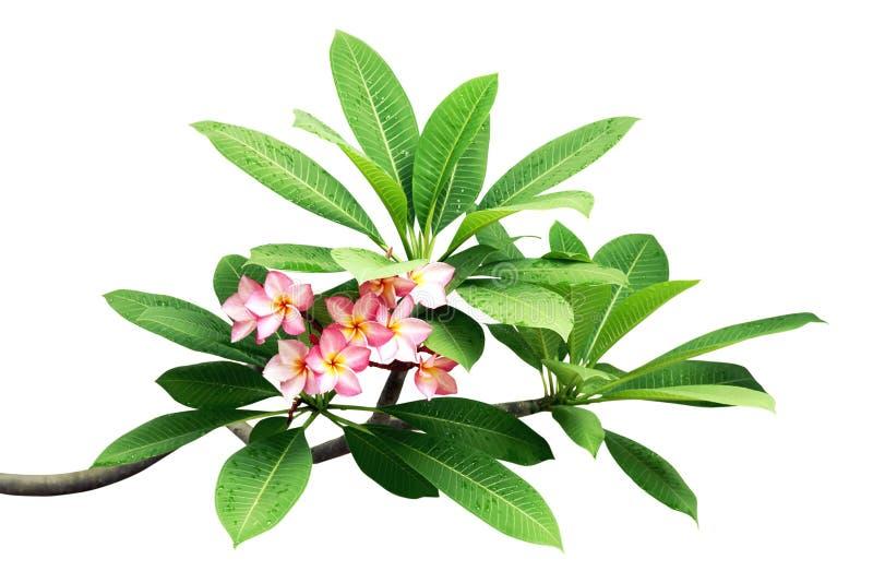 De Takken van de Plumeriaboom met Bladeren en Roze die Bloemen op Witte Achtergrond worden ge?soleerd stock afbeeldingen