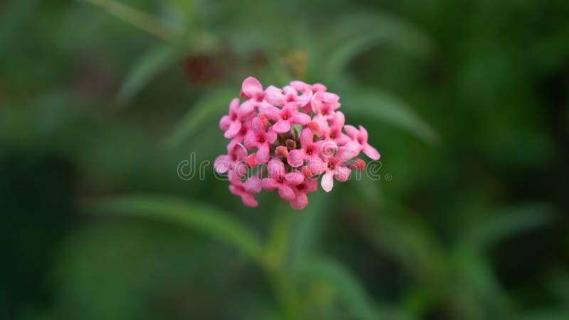 De takken van de Roze bloem die van struikpenta op onscherp groen bloeien verlaat gebladerte, weten als Panama en Rondeletia-leuc royalty-vrije stock afbeelding