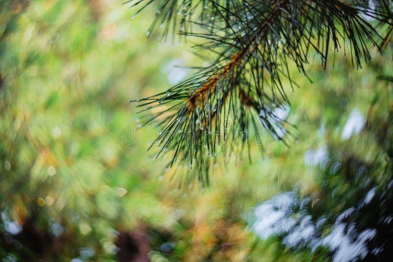 De takken van de spar met zachte nadruk, hoogtepunten en regendruppels in het natuurlijke bos royalty-vrije stock afbeeldingen