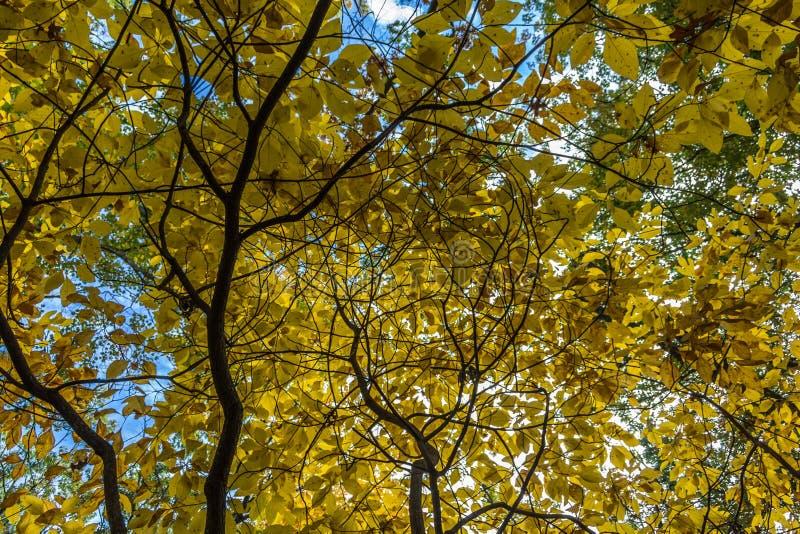 De takkenbereik van het dalingsgebladerte voor de hemel met hun gele bladeren royalty-vrije stock foto