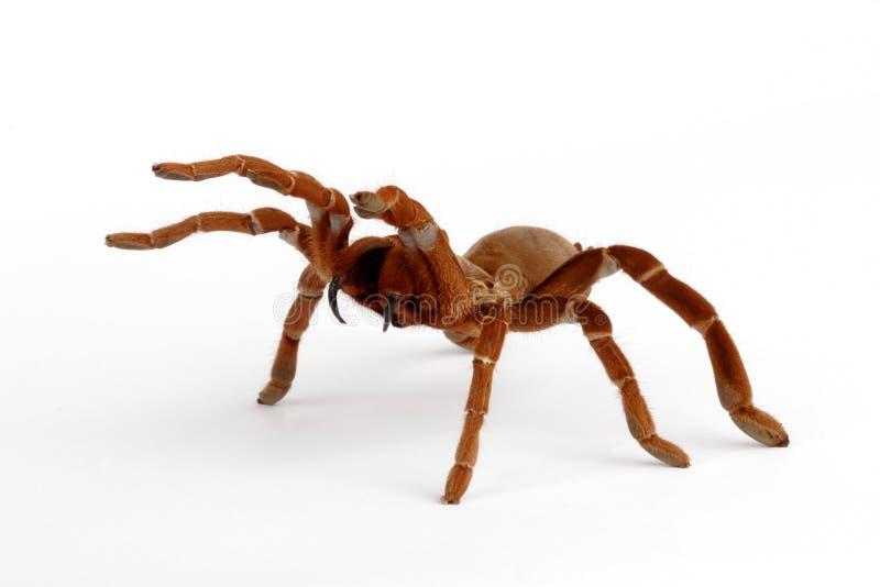 De Tarantula van de Baviaan van de koning (crawshayi Citharischius) stock afbeelding