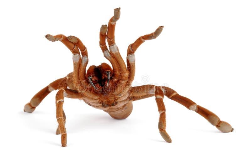 De Tarantula van de Baviaan van de koning (crawshayi Citharischius) stock foto