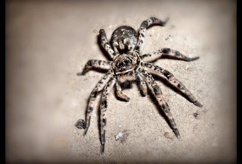 De tarantula van de spin stock afbeeldingen