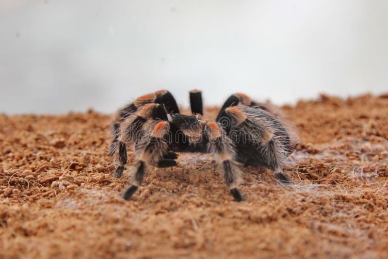 De tarantula van de spin royalty-vrije stock foto