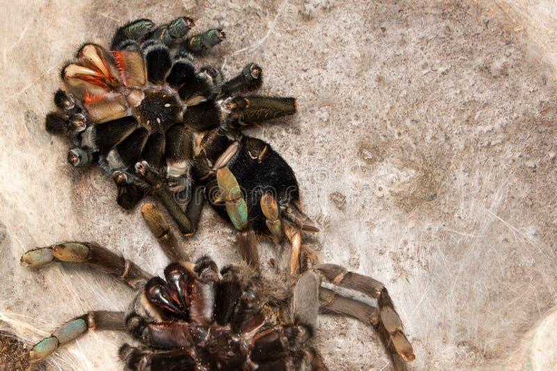 De tarantula van Haplopelmahainanum na het veranderen van haar huid stock foto