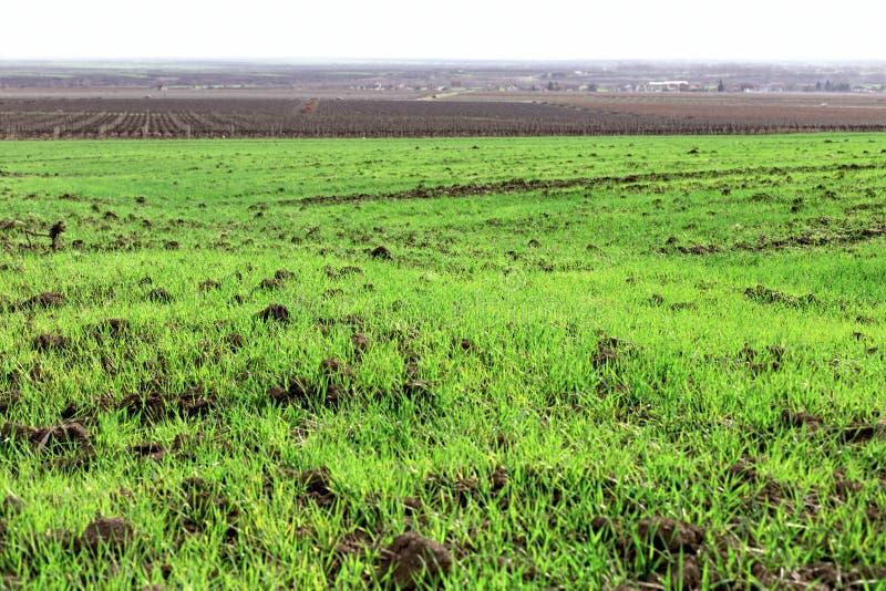 De tarwe is gezaaide in time, is de jonge tarwe zeer goed geavanceerd, tarwegebied en wijngaard stock foto