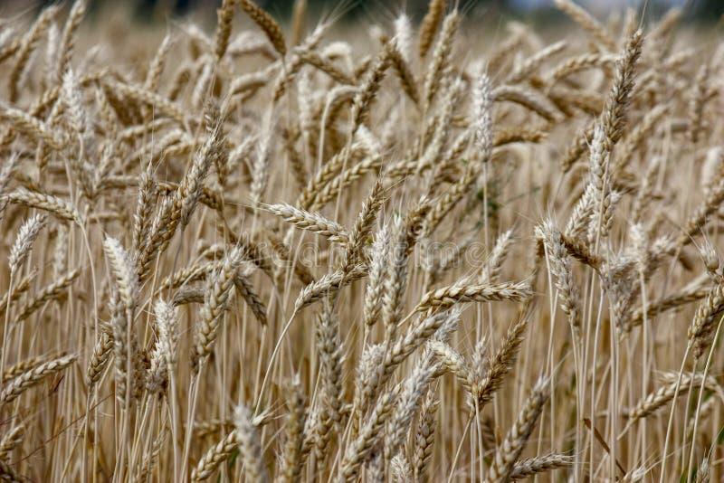 De tarwe op een gouden geel landbouwbedrijf is mooi en wacht op oogst in seizoen Close-up royalty-vrije stock fotografie
