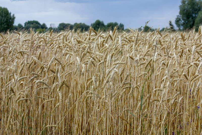 De tarwe op een gouden geel landbouwbedrijf is mooi en wacht op oogst in seizoen Close-up stock afbeeldingen