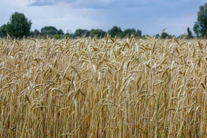 De tarwe op een gouden geel landbouwbedrijf is mooi en wacht op oogst in seizoen Close-up royalty-vrije stock foto's