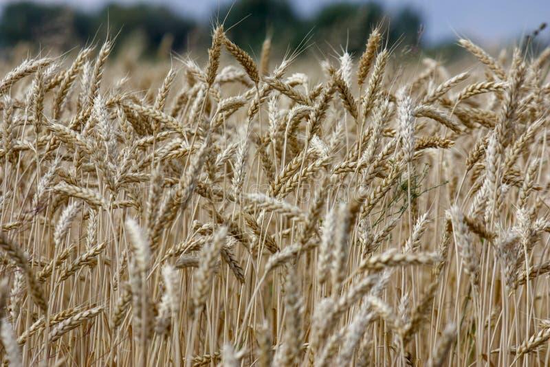 De tarwe op een gouden geel landbouwbedrijf is mooi en wacht op oogst in seizoen Close-up stock foto