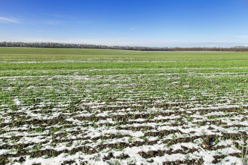 De tarwe van de gebiedswinter onder sneeuw stock afbeelding