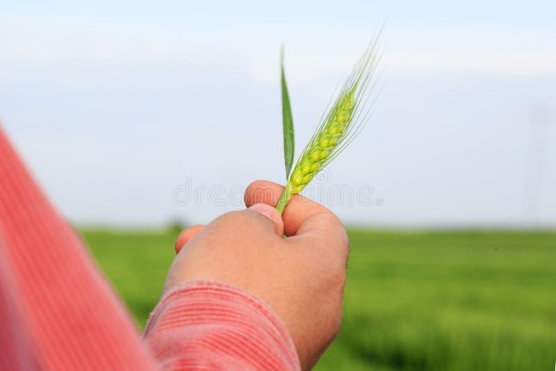 De tarwe van de landbouwersholding in zijn hand stock foto's
