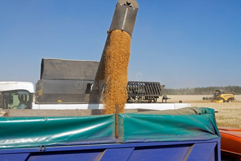De tarwe van de maaidorserlading in de vrachtwagen stock afbeeldingen