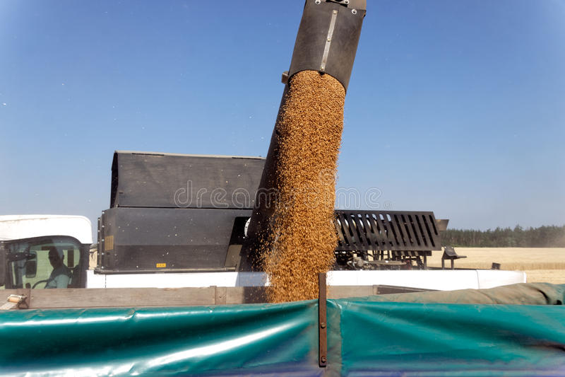 De tarwe van de maaidorserlading in de vrachtwagen stock fotografie