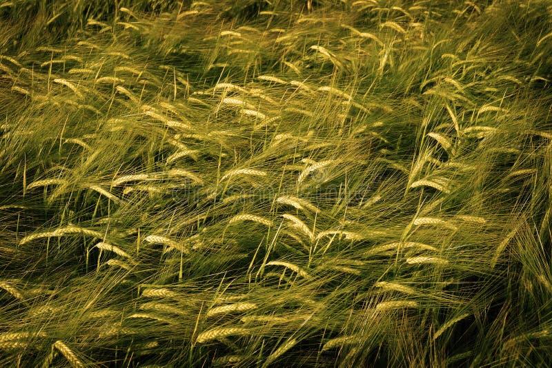 De de Tarwegroei die van het korrelgebied de Groene Landbouw kweken Landbouw stock afbeelding