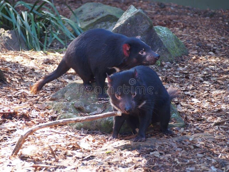 De Tasmaanse duivels zijn in gevaar van uitsterven royalty-vrije stock fotografie