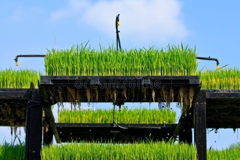 De techniek van de de rijstaanplanting van Aeroponics royalty-vrije stock foto