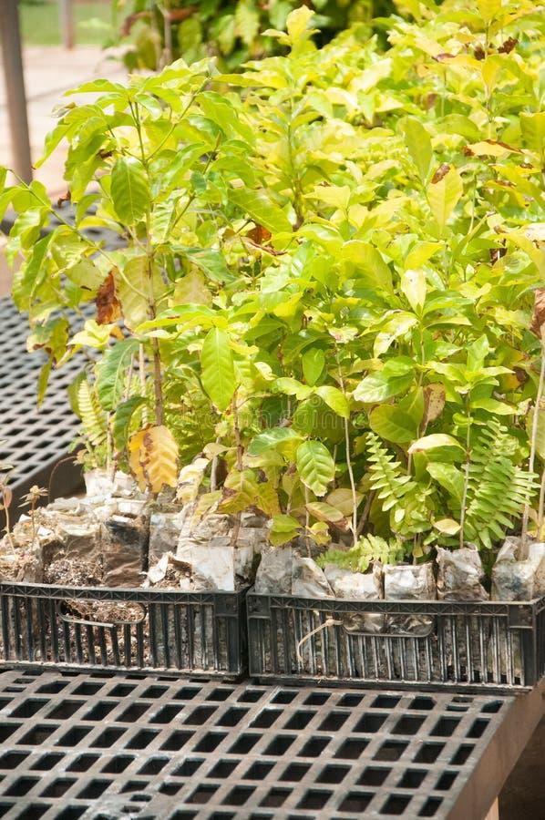 De tedere Groene installaties van Koffiebonen worden gekweekt in een serre bij een landbouwbedrijf in Kauai, Hawaï royalty-vrije stock afbeeldingen