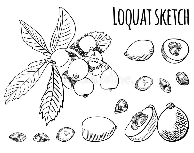 De tekening van het Loquatoverzicht op wit wordt geïsoleerd dat Vector illustratie vector illustratie