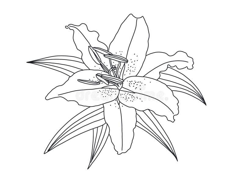 De tekening van de leliebloem op Witte achtergrond wordt geïsoleerd die Illustratie vector illustratie
