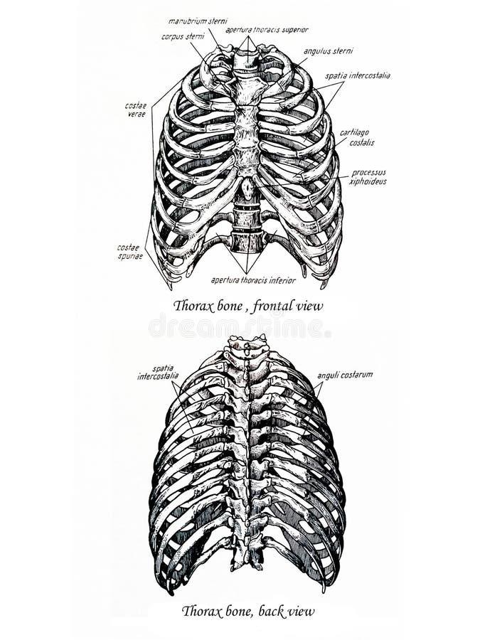 De tekenings frontale en achtermening van het thoraxbeen vector illustratie
