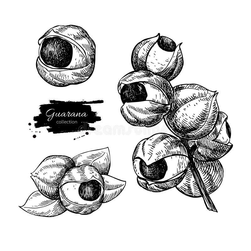 De tekeningsreeks van Guarana vectorsuperfood Geïsoleerde getrokken hand royalty-vrije illustratie