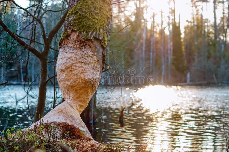 De tekens van bevertanden op een boomboomstam, boom door de bever wordt geknaagd aan die stock afbeeldingen