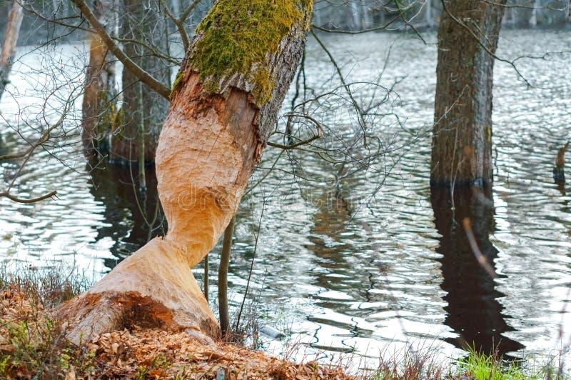 De tekens van bevertanden op een boomboomstam, boom door de bever wordt geknaagd aan die stock afbeelding