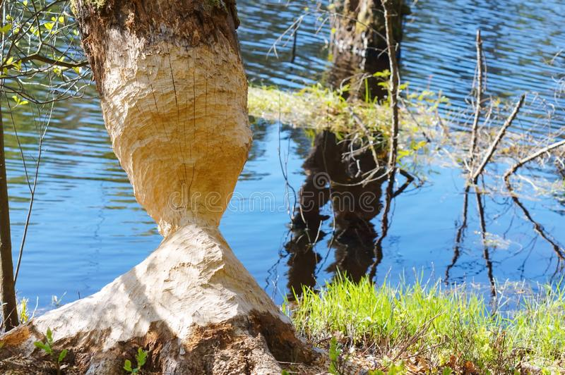 De tekens van bevertanden op een boomboomstam, boom door de bever wordt geknaagd aan die royalty-vrije stock afbeeldingen