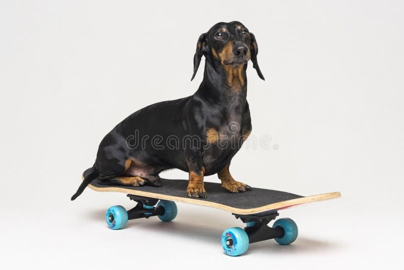 De Tekkel van het hondras, zwarte en tan, zit op skateboard op grijze achtergrond wordt geïsoleerd die Het met een skateboard rij royalty-vrije stock foto