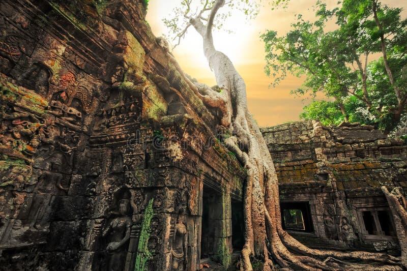 De tempel van Ta Prohm met reuze banyan boom bij zonsondergang Angkor Wat, Kambodja royalty-vrije stock foto