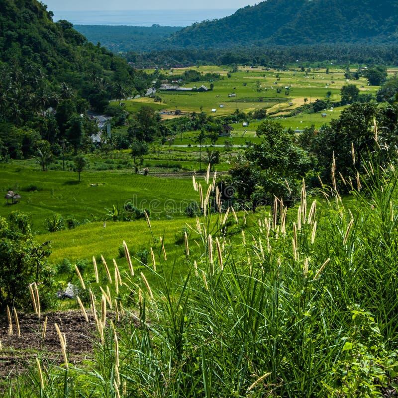 De terrassen van de rijst op Bali Aren van gras in de voorgrond stock foto