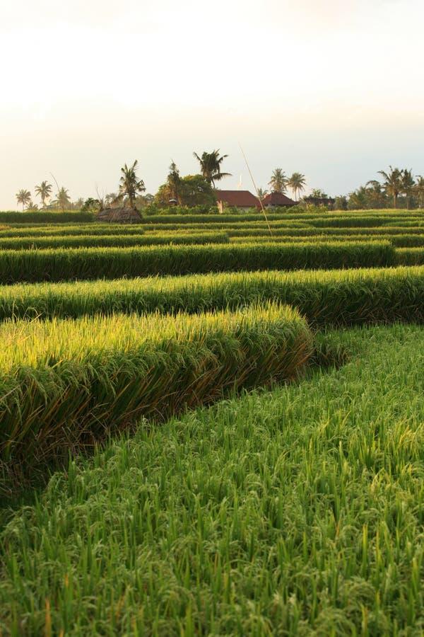 De terrassen van de rijst op Bali. Indonesië stock fotografie