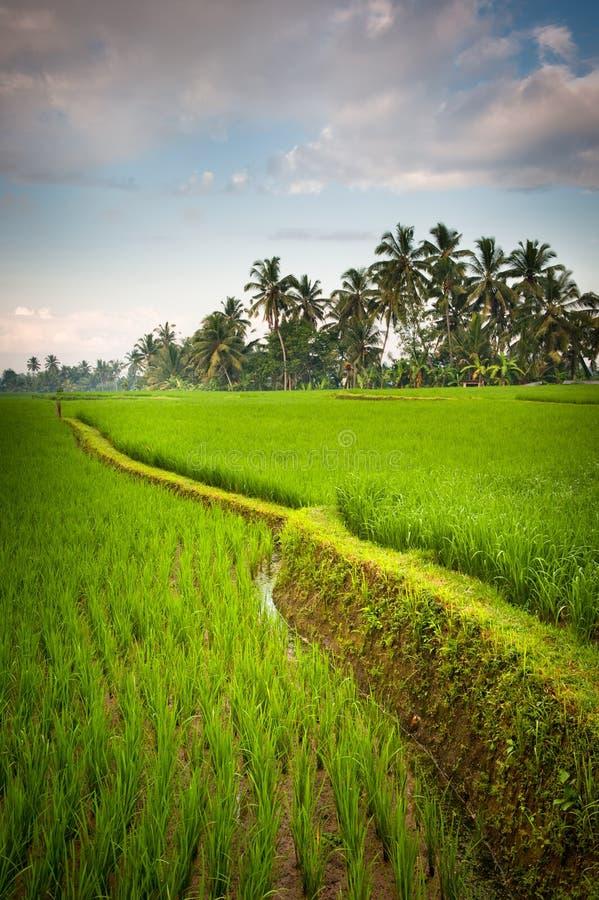 De terrassen van de rijst van Bali, Indonesië royalty-vrije stock afbeelding