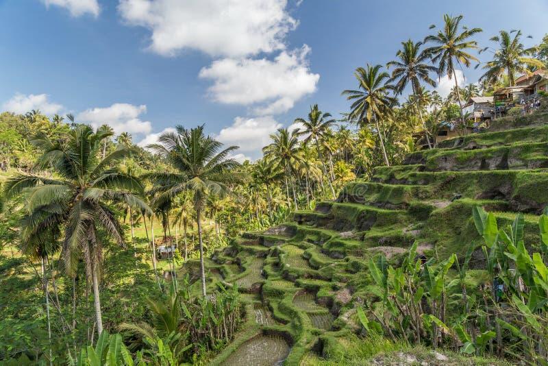 De terrassen van de Tegallalangrijst in Bali, Indonesië stock foto
