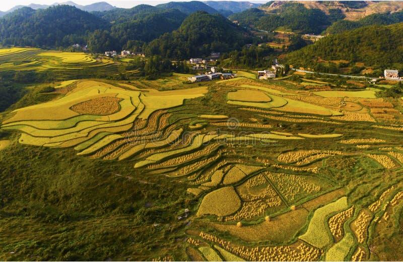 De terrasserade risfälten i solnedgång royaltyfri foto