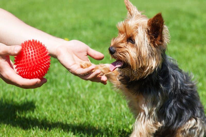 De terriër die van Yorkshire op een stuk speelgoed wachten De hond geeft een poot aan een mens royalty-vrije stock afbeelding