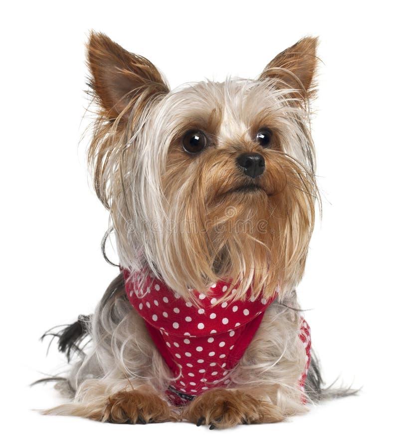 De Terriër die van Yorkshire rode en witte polka dragen stock foto's