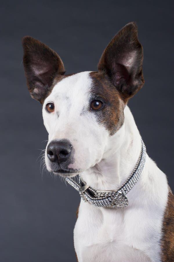 De terriër Gemengde Hond van het Ras stock afbeeldingen