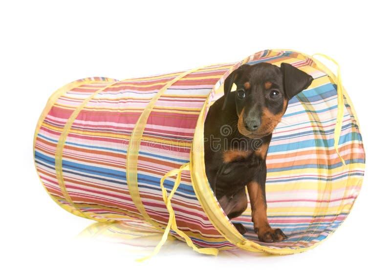 De terriër van puppymanchester stock afbeeldingen