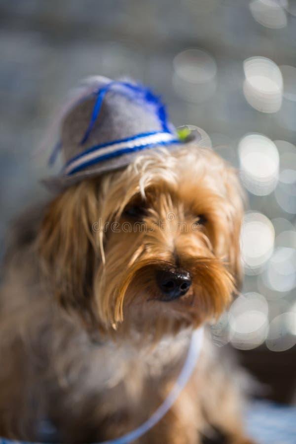 De terriër van Yorkshire met een Beierse hoed royalty-vrije stock foto's
