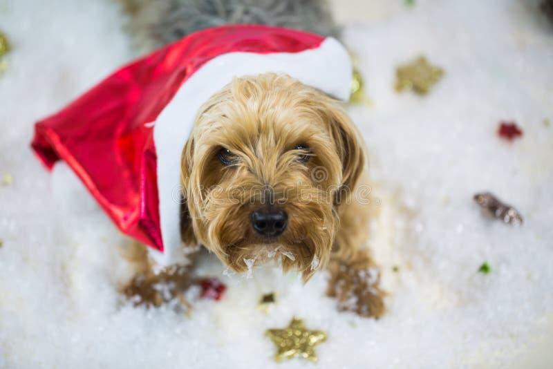 De terriër van Yorkshire met de hoed van de Kerstman, die in de sneeuw liggen stock foto's