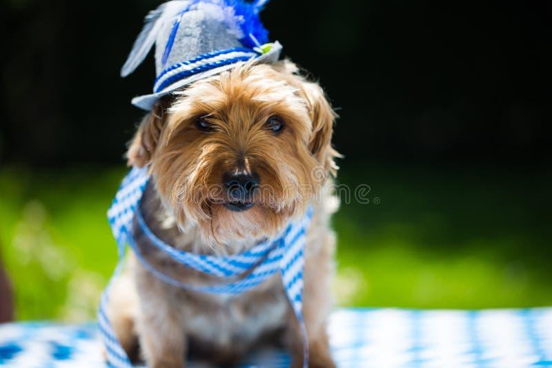 De terriër van Yorkshire met hoed, wit blauw, het meest oktoberfest ruiten, stock foto