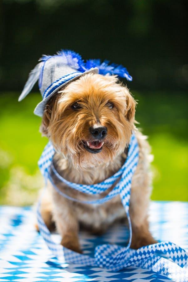 De terriër van Yorkshire met hoed, wit blauw, het meest oktoberfest ruiten, royalty-vrije stock afbeeldingen