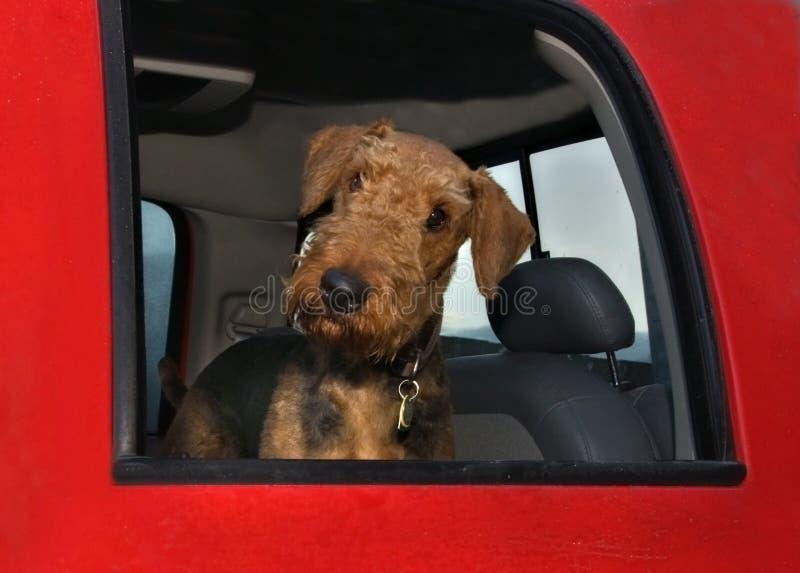 De terriërhond van de airedale binnen grote rode vrachtwagen stock afbeeldingen