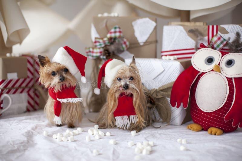 De terriërhonden van Kerstmisyorkshire royalty-vrije stock afbeeldingen