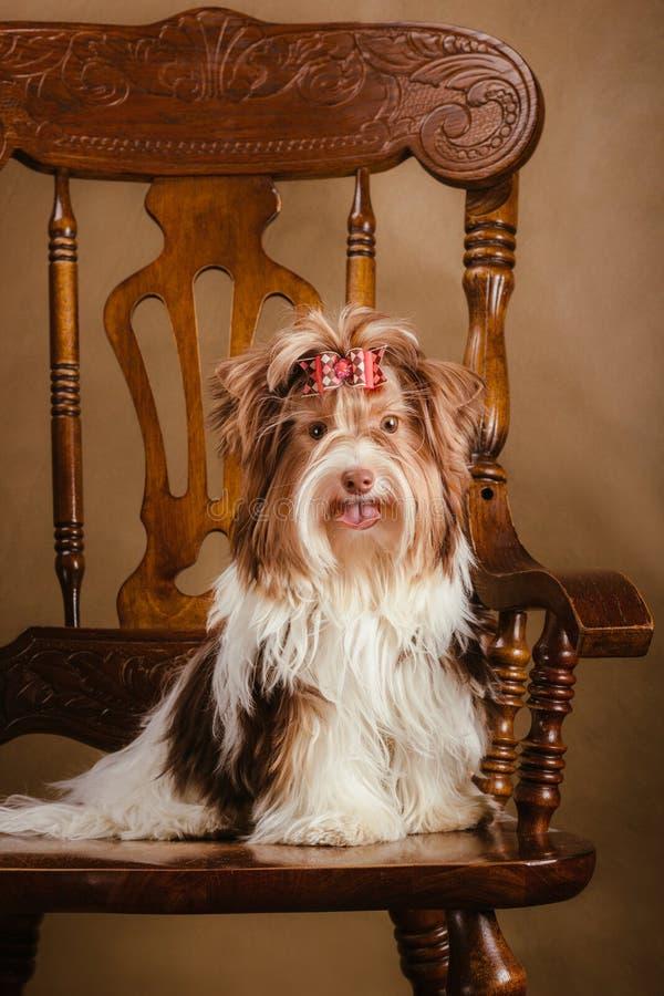 De terriërpuppy van Bieweryorkshire op een stoel royalty-vrije stock fotografie