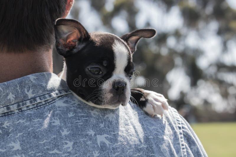 De terriërpuppy van Boston, rust, die op mannelijke eigenaars schouder in openlucht rusten, vreedzaam en leuk royalty-vrije stock foto