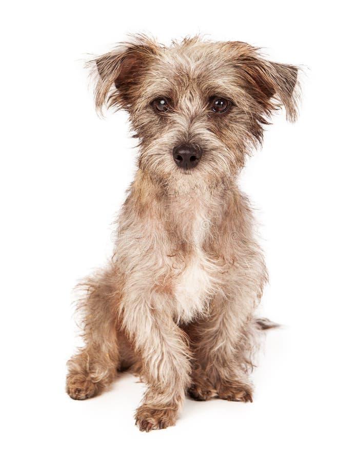 De Terrier Gemengde Zitting van het Rassenpuppy stock afbeelding