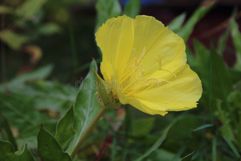De teunisbloem van Missouri, macrocarpa Oenothera stock foto's